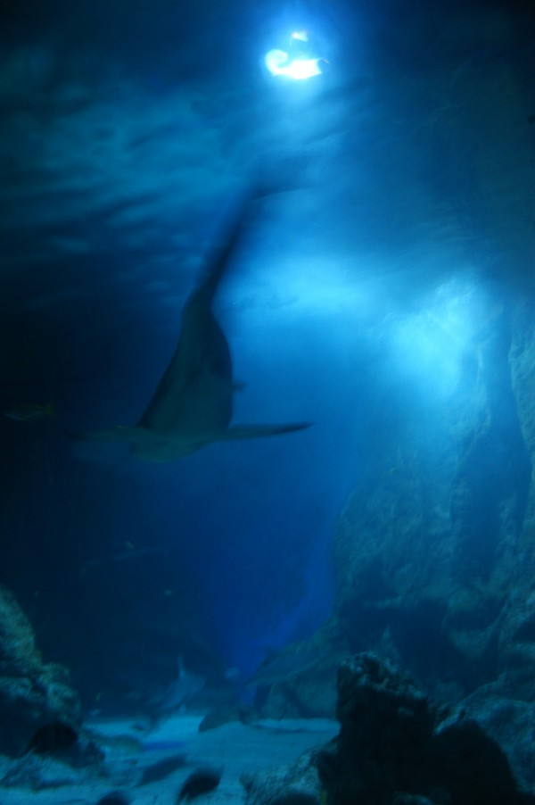 photo de requin
